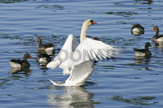 Hoeckerschwan, Schwan (Cygnus olor) mit Graugaensen (Anser anser), Mute Swans and grey geese