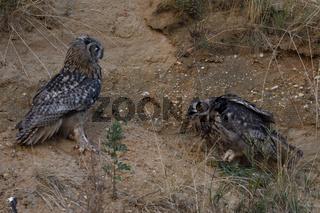 Interaktion... Europäischer Uhu *Bubo bubo*, Jungvögel streiten sich um Beuterest