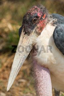 Marabou stork south Africa
