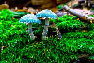 blaue schlumpf pilze
