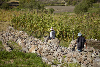 Two Peruvian Men Working on a Corn Field in Arequipa Peru