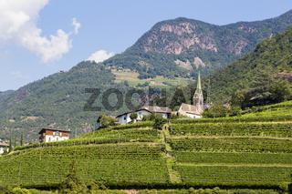 Weinberg in Bozen, Südtirol, Italien, Vineyard in Bolzano, South Tyrol, Italy