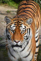 Close up front portrait of Siberian Amur tiger