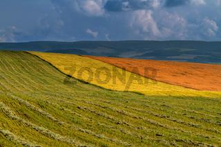 Panorama ripening wheat field