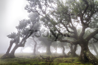 Ancient laurel forest in the fog