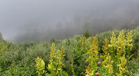 Wild vegetation in the fog in Altai Krai mountains.