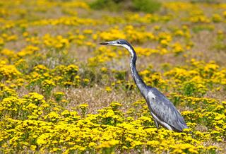 Reiher auf Futtersuche im West Coast Nationalpark, Postberg Sektion, Südafrika, heron at West Coast National Park, Postberg sector, South Africa