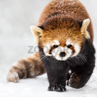 Red Panda in Snow II