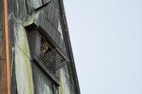 Hoch oben im Kirchturm... Europäischer Uhu *Bubo bubo*, Uhupaar schaut aus Nisthilfe in Kirchturm