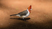 Red Crested Cardinal Bird Family of Tanagers Oahu Hawaii