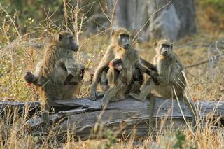 Steppenpavian Familie (Papio cynocephalus) mit Jungtieren auf umgestuertzten Baum, Moremi-Wildreservat, NP, Okavango Delta, Botsuana, Afrika, Yellow Baboons with babys sitting a trunk, Moremi Nationalpark, Moremi Wildlife Reserve, Botswana, Africa