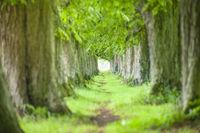 Große alte Kastanienallee mit Fußweg