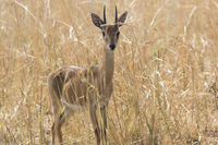 male antelope oribi standing in the middle of dry grass in the savannah