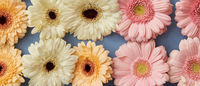 Different colorful gerberas on a blue background