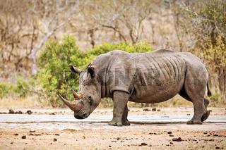 Breitmaulnashorn im Kruger Nationalpark, Südafrika, white rhinoceros, Kruger NP, South Africa