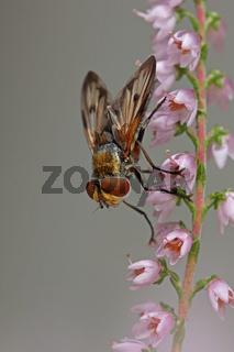 Breitfluegelige Raupenfliege (Ectophasia crassipennis)
