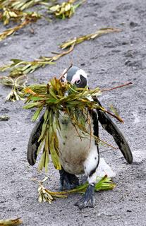 Brillenpinguin beim Nestbau, Stony Point, Südafrika, African penguin, South Africa