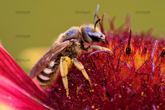 Honigbiene auf einem Sonnenhut