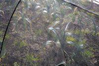 Winterlauch unterm Netz