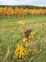Weingarten im Herbst im Burgenland