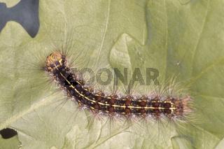 Schwammspinner, Lymantria dispar, Gypsy moth, Raupe