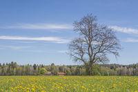 Frühlingswiese in Oberbayern