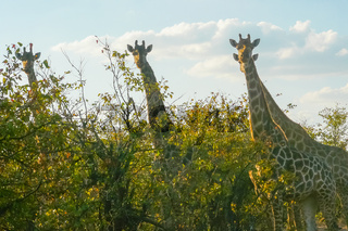 giraffes in the Kruger Park South Africa