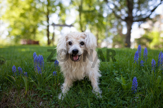 White mixed breed dog in park