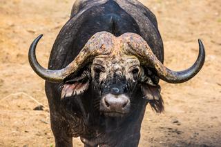 Huge buffalo watching tourists