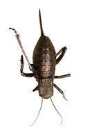 big bellied cricket isolated over white background ( Bradiphorus dasiphus