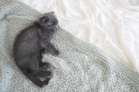 Grey purebred british kitten sleeps on blanket