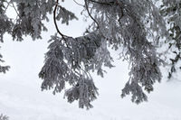 Snow-covered branches of spruce in winter forest