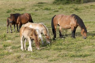 Horses grazing in summer in Navarra.