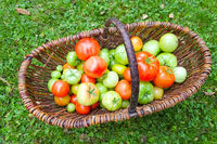 grüne Tomaten Bio in einem Korb aus dem Garten