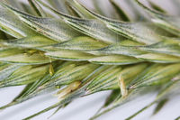 Green wheat ear close-up with setas on a white background