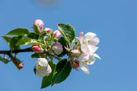 flowering apple tree in spring