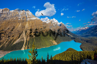 The turquoise lake Peyto in Banff National Park