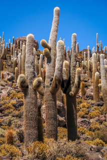 Big Cactuses in Bolivia