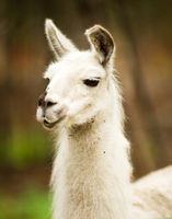 Lone Domestic Llama Farm Livestock Animals Alaska