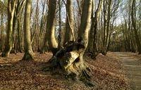Wald mit einem Zwiesel um Wachtendonk am Niederrhein / Nordrhein-Westfalen / Deutschland