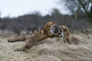 streitend... Rotfüchse *Vulpes vulpes*