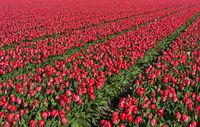 Feld mit pinkfarbenen Tulpen zur Produktion von Blumenzwiebeln, Noordwijkerhout, Niederlande