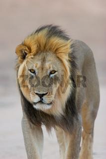 Black-maned African lion