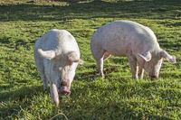 Schwein muss man haben