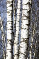 Birken im Winter