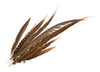 Top view of pheasant tail feathers