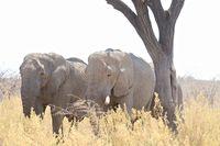 Elefanten unterm Schattenbaum