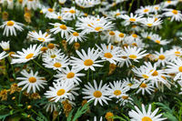 Chamomile flowers - floral background