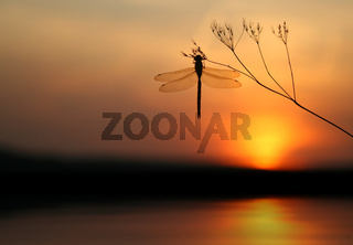 Libelle im Abendlicht