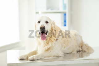 close up of golden retriever dog at vet clinic